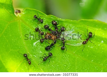 black ant eating an insect