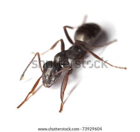 Black ant, Lasius isolated on white background - stock photo