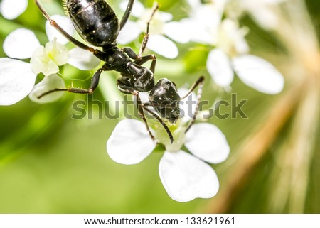 Black Ant Macro - stock photo