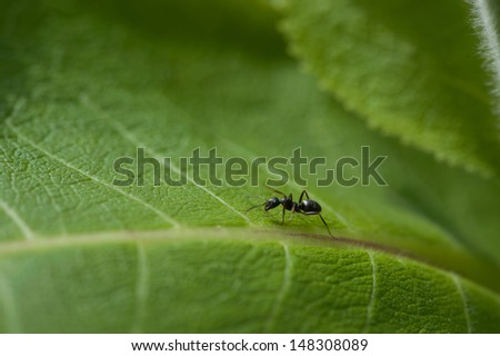 Black ant on a green leaf - stock photo