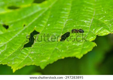 black ant on green leaf - stock photo