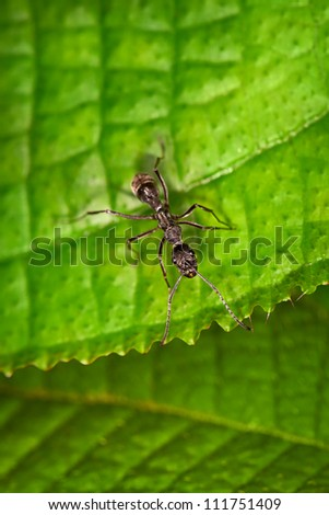 Black ant on the edge of the green leaf