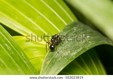Black ant perched on a branch. Black ant foraging area branches. And for victims