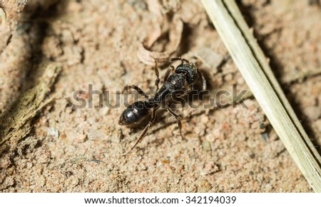 Black ant're foraging on the ground.