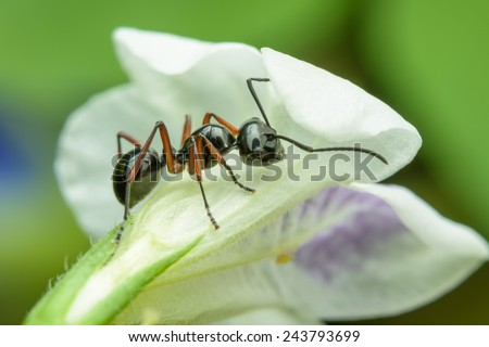 Black Ant resting on flower - stock photo