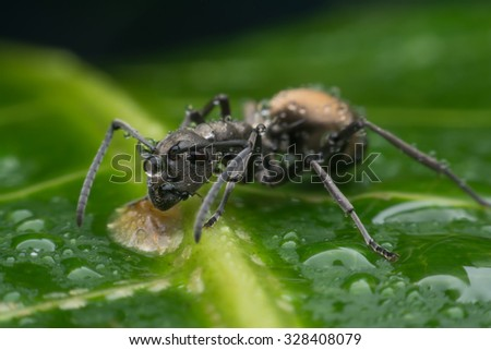 Black ant with water drops on green leaf