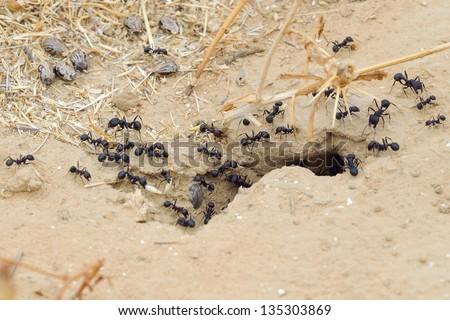 Black ants in desert near an anthill - stock photo