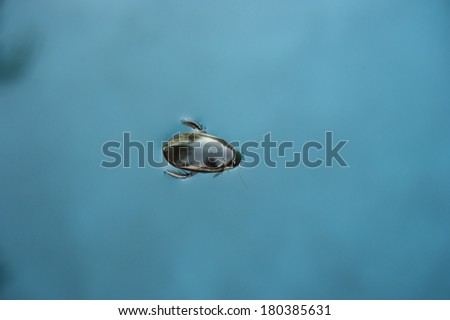 Black aquatic beetle floats on the surface of the water - stock photo