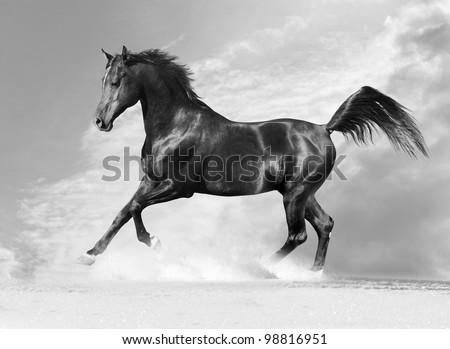 black arab horse in winter in monochrome tone - stock photo