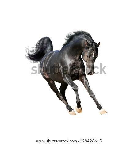 black arab horse isolated on white - stock photo