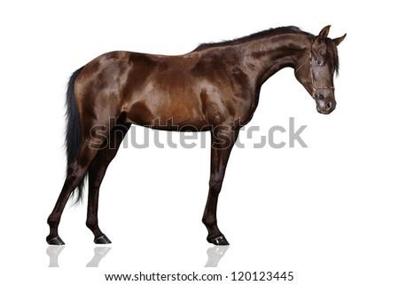 Black arabian horse isolated on white - stock photo