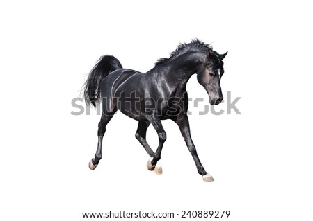 black arabian horse isolated on white - stock photo