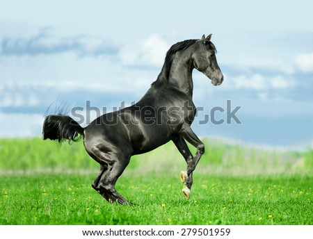 black arabian stallion rearing in summer field free - stock photo