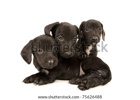 Black bachshund puppies with Messy mouthes embracing, isolated on white - stock photo
