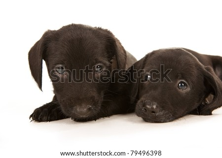 Black bachshund puppies with Messy mouthes embracing, isolated on white