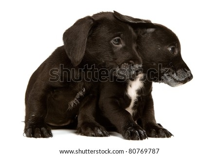 Black bachshund puppies with messy mouthes, isolated on white - stock photo