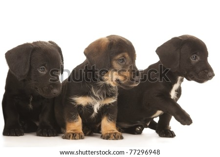 Black bachshund puppies with Messy mouths embracing, isolated on white - stock photo