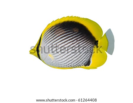 Black backed butterfly fish isolated on white - stock photo