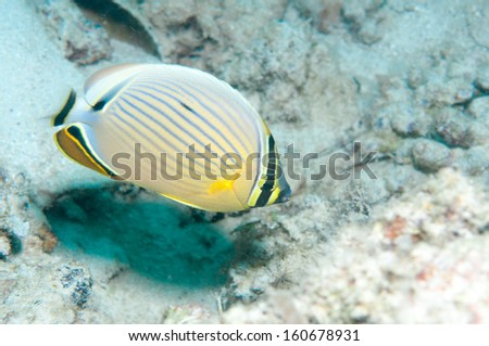 Black-backed butterflyfish (Chaetodon melannotus)  - stock photo