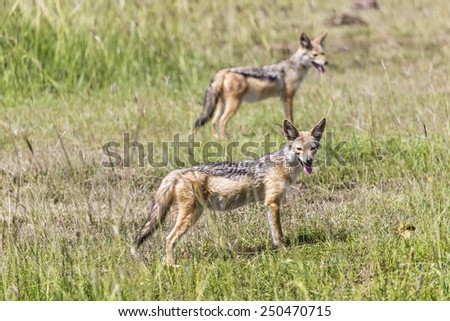Black-backed jackal, (Canis mesomelas), Kruger NP, South Africa
