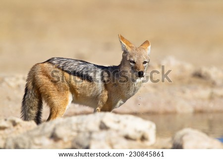 Black backed Jackal (Canis mesomelas) standing at a waterhole, with water dripping from it's mouth, Kalahari desert, South Africa - stock photo
