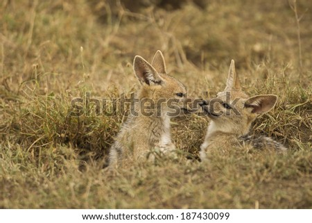 Black-backed Jackal, Canis mesomelas, young playing at den site in Lower Mara, Masai Mara Game Reserve, Kenya - stock photo