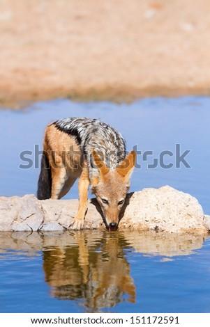 Black backed jackal drinking cool water in the hot kalahari - stock photo