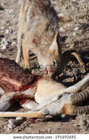 Black Backed Jackal eating a Springbok Antelope at Etosha National Park in Nambia, Africa - stock photo