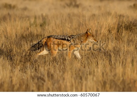 Black Backed Jackal hunting for food in the African Grass Fields - stock photo