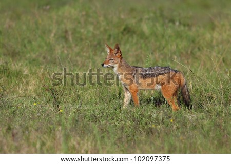 Black backed jackal hunting in the green grassland in Addo elephant national park,eastern cape,south africa - stock photo