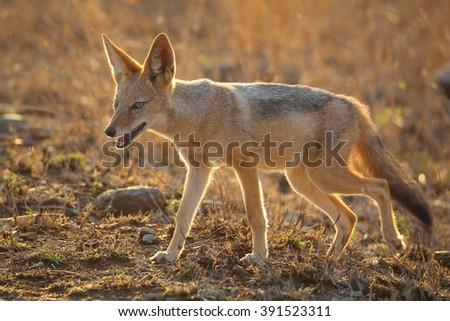 Black-backed jackal in early light, Kruger National Park, South Africa - stock photo