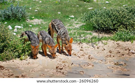 Black-backed jackal mother with cubs drinking water - stock photo