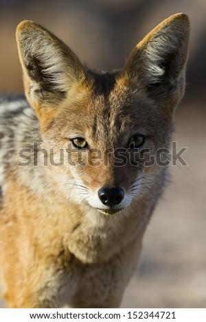 Black-backed jackal of the Kalahari, South Africa - stock photo
