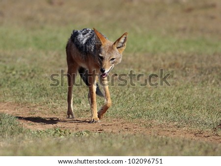 Black backed jackal walking towards the camera in this portrait from Addo elephant park,Eastern Cape,South Africa