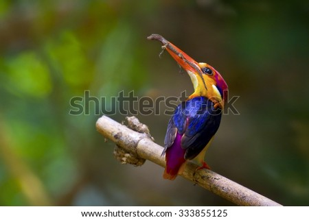 Black-backed Kingfisher, Ceyx erithacus, colorful kingfisher carrying food for their chicks, bird of Thailand