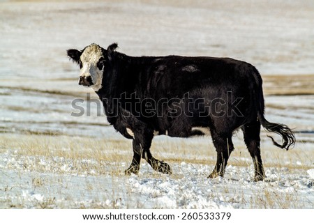 Black Baldy cow in winter pasture in Montana - stock photo