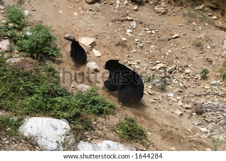 black bear and her cub - stock photo