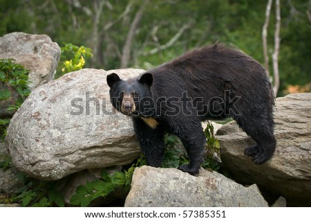 Black Bear Animal Wildlife in Western North Carolina Mountains - stock photo