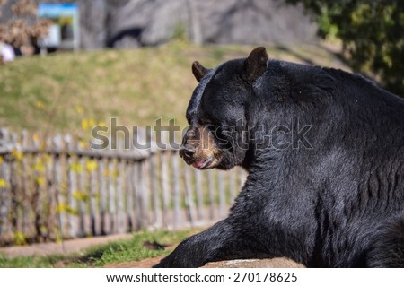 Black bear at the zoo.