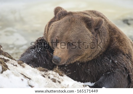 Black bear brown grizzly playing in the ice water - stock photo