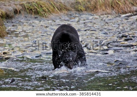 black bear catching coho salmon in front od dead salmons