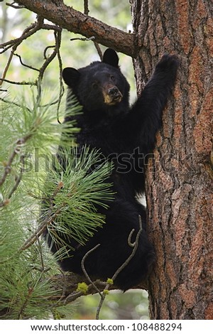 "Black Bear climbing a large pine tree, ""Tree Hugger"" (environmental symbolism)"