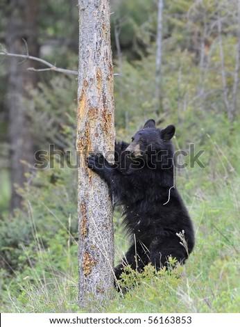 Black Bear Climbing Tree - stock photo