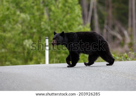 Black bear crossing the road - stock photo