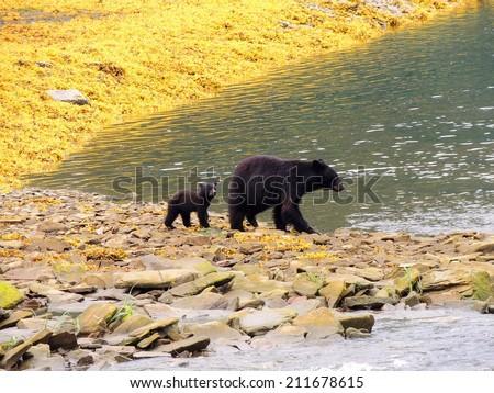 black bear cub and mother in neets bay,  alaska, near ketchikan - stock photo