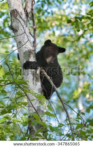 Black Bear Cub (Ursus americanus) Looks down from Tree - captive animal