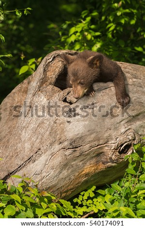 Black Bear Cub (Ursus americanus) Looks Down Log - captive animal
