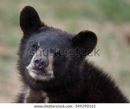 Black bear cub (Ursus americanus) portrait - stock photo