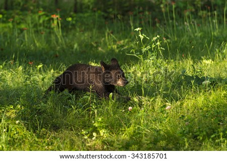 Black Bear Cub (Ursus americanus) Runs Across Grass - captive animal
