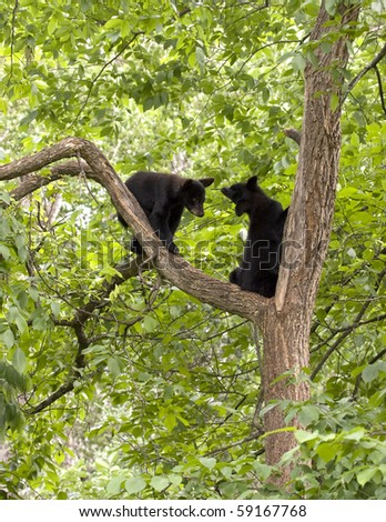 Black bear cubs in a tree - stock photo